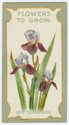 Iris cermanica (Flag iris). From New York Public Library Digital Collections.