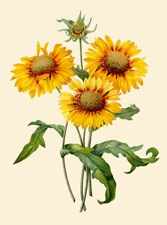 ARTEFACTS - antique images: Sunflower — for personal use only!