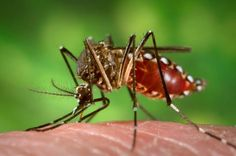Identifying and Fighting Dengue Fever - http://topnaturalremedies.net/natural-treatment/identifying-and-fighting-dengue-fever/