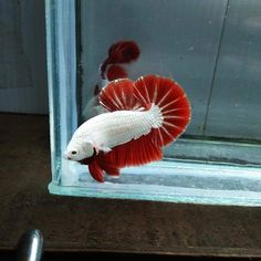 Freshwater Aquarium, Aquarium Fish, Red Dragon, Art Of Living, Betta Fish, Photo Displays, Fish Tank, Parrot, Live Art