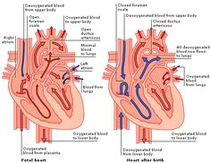 Medical Encyclopedia - Structure and Function: The Heart Before and After Birth - Aviva