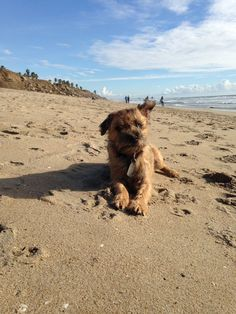 "Jack the Border Terrier says, ""It's windy at the beach."""