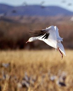 Snow Goose, Bosque del Apache NWR, Socorro, NM Photograph. A snow goose coming into land in a corn field at the Bosque del Apache National Wildlife Reserve near Socorro, New Mexico. Corn is planted as feed for the birds. Available in multiple sizes.