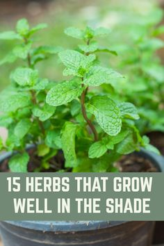 If you've got a shady corner in your garden, grow these herbs. garden 15 Herbs That Grow Well In The Shade If you've got a shady corner in your garden, grow these herbs. garden 15 Herbs That Grow Well In The Shade Olive Garden, Veg Garden, Garden Seeds, China Garden, Garden Soil, Edible Garden, Garden Art, Gardening For Beginners, Gardening Tips