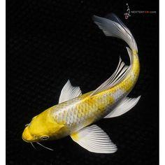 Koi Fish Drawing, Fish Drawings, Koi Fish Pond, Koi Carp, Pretty Fish, Beautiful Fish, Koy Fish, Butterfly Koi, Fish Rocks