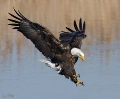 It's getting to be that time of year again – Bald Eagle time in Utah! Eagle populations in Utah peak… Eagle Images, Eagle Pictures, Exotic Birds, Colorful Birds, Nature Animals, Animals And Pets, Eagle Art, Eagle Wings, Birds Of Prey