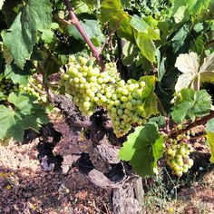 Temps de verema #raim #verema #grape #grapes #penedes #igerspenedes #green #vinya #wine #vi by @Anna Totten Mestre #turistesdequalitat #tdq