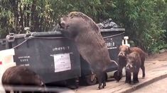 A video spreading rapidly across social media in Hong Kong shows a monster-size wild boar standing on its hind legs to raid a dumpster. Wild Boar Hunting, Pig Hunting, Hong Kong, Animals And Pets, Funny Animals, Cute Animals, Wild Animals, Baby Animals, Natural Disasters