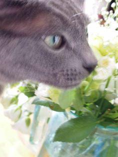 Louis <Chartreux>