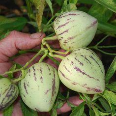 SOLANUM MURICATUM SEEDS (Melon Pear, Sweet Pepino, Pepino Dulce)