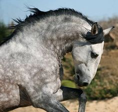 Coudelaria Lusitano - These horses are very similar in conformation to the Andalusian horses of Spain. The two breed are thought to have originated from a common source but selection in the Lusitano has resulted in a more convex profile reminiscent of the old Andalusian or Iberian horse whereas the Andalusian as developed a more Oriental head shape.