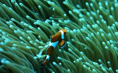 clownfish : Full HD Pictures 1920x1200