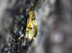 sap, conifer, tree, plastic, university of south carolina, rosin, resin, biodegradable, forest