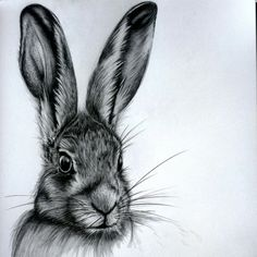 Hare graphite sketch