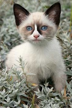 The baby Snowshoe. They are born white and grow into their markings. The most loving cats!