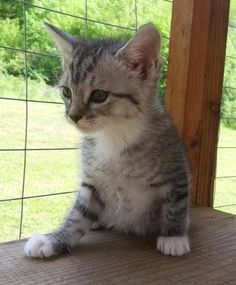 Meet Poppy 22256, a Petfinder adoptable Domestic Short Hair Cat | Prattville, AL | Poppy is an 8-week old, gray/white tabby, female kitten.Dogs and puppies may be adopted for a fee...
