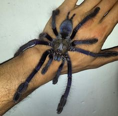 The Singapore blue(Lampropelma violaceopes) is a large, arboreal species of tarantula from Malaysia and Singapore. These spiders have been known to grow in excess of 9 inches across. The legs are an...