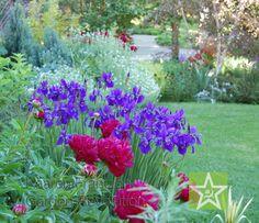 Iris siberica Caesar's Brother with Paeonia Karl Rosenfield in home garden Kaaren Frantzen Garden Revolution Chicago
