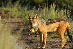 Wildlife, Fox, Animals, Animales, Animaux, Animal, Animais, Foxes