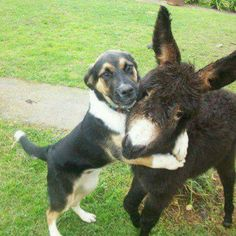 dog and mule Animals And Pets, Baby Animals, Funny Animals, Cute Animals, Unusual Animals, Animals Beautiful, Unlikely Animal Friends, Cute Donkey, Baby Donkey