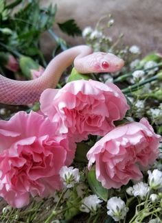 With your head in the sky - zooophagous: Cordial is so photogenic Pretty Animals, Cute Little Animals, Animals Beautiful, Pretty Snakes, Beautiful Snakes, Cute Reptiles, Reptiles And Amphibians, Vintage Wallpaper, Cute Snake