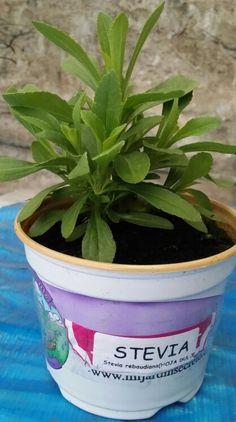 STEVIA -- Además de ser una planta que se cultiva muy fácilmente en casa, la Stevia es un vegetal que tiene multitud de propiedades medicinales, puesto que tomarla con frecuencia ayuda a tener una salud de hierro. Regula la diabetes, controla la presión arterial y mejora la circulación, entre muchos otros efectos beneficiosos, además de ser una planta maravillosa para el jardín, puesto que ayuda a las demás a estar más sanas y crecer con más fuerza.