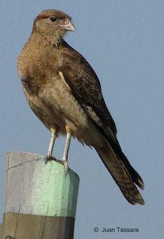 Tiuque - AVES DE CHILE Birds 2, Flora, Birds Of Prey, Earth, Board, Cute, Nature, Animals