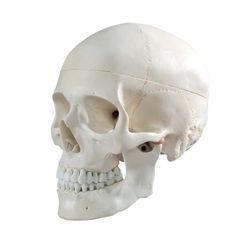 Cranstein Human Skull, life-size, 3 parts Skull Model, Human Skull, Rest, Family Apartment, Supply List, Classroom, Amazon, Life, Anatomy