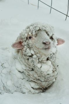 Sheep enjoying the snow.