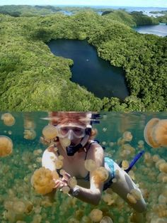 Palau's Jellyfish Lake once had an outlet to the sea, but is now connected to the ocean through fissures and tunnels in the surrounding limestone. Millions of jellyfish were trapped in the basin when sea levels dropped, and over time they evolved into a species that have lost the ability to sting because they don't have to fight off predators. Jellyfish Lake is a snorkeling and swimming extravaganza where you can get up close and personal with an estimated 10 mil Jellyfish.