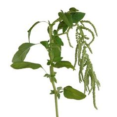 Naturalize your bouquet by flooding it with crisp and refreshing Green Hanging Amaranthus Bulk Fall Greens. Lateral stems are decorated with green buds that han White Anemone, Anemone Flower, Blush Wedding Flowers, Green Wedding, Ivory Roses, Red Roses, Labor Day Wedding, Amaranthus, Fall Flowers