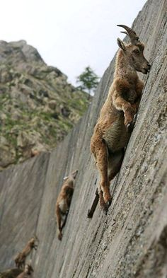 It's the climb.. Mountain Goats #cuteanimals #animals #exoticanimals #funnyanumals #nature #wildnature #amazing