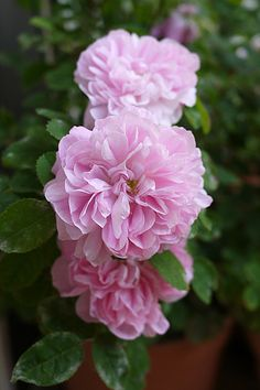Damask Perpetual or Portland Rose: Rosa 'Marie de Saint Jean' (France, 1869)