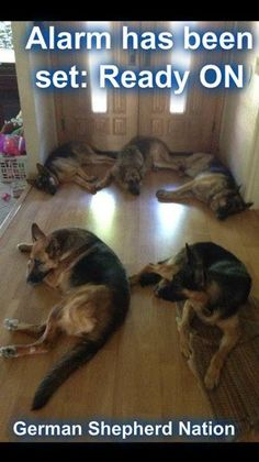 Alarm has been set... (German Shepherd Nation)