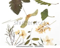 Pressed flowers and leaves on white background