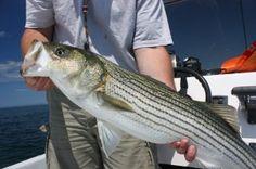 Bright lines, bright fish. Saltwater Fishing Gear, Fishing Rigs, Bass Fishing Tips, Fishing Knots, Gone Fishing, Fishing Bait, Fish Information, Rockfish, Fishing Outfits