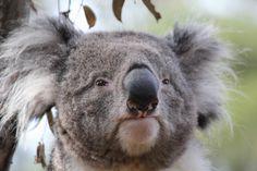 Koala is not amused by your shenanigans