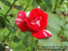 'Scentimental' Floribunda It's What's Blooming This Week In My Alabama Rose Garden | The Redneck Rosarian