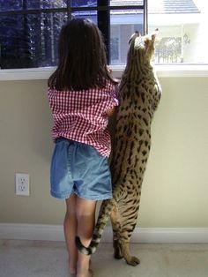 Savannah Cat on Pinterest   Savannah Cats, Serval and Cats