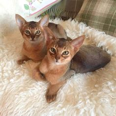 Abyssinian Cats and Kittens For Sale