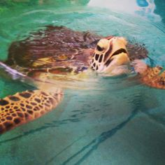 You have a good chance of seeing a sea turtle while snorkeling or diving on the Great Barrier Reef, but you have a 100% chance of spotting one if you stop by the Cairns Turtle Rehabilitation Center on Fitzroy Island >>> good to know if you're headed to Australia :)