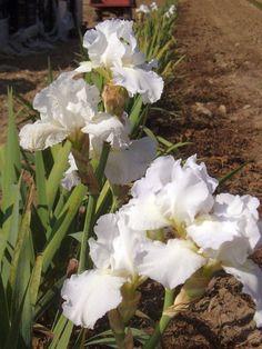 iris germanica 'Lady Snowflake'