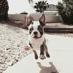 The major breeds of bulldogs are English bulldog, American bulldog, and French bulldog. The bulldog has a broad shoulder which matches with the head. Bulldog Puppies, Cute Puppies, Cute Dogs, Dogs And Puppies, Doggies, Animals And Pets, Baby Animals, Cute Animals, Puppy Care