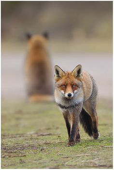 Red Fox | Flickr - Photo Sharing!