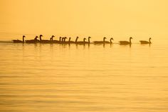 Geese in Foggy Sunset Huron County, N21, Earth Tones, Ontario, New York Skyline, Sunset, Explore, Photography, Birds