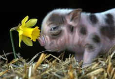 This adorable baby Pig just warms up my heart!