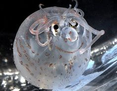"""It looks like a pig with cute curls around its face and with an irresistible smile, but do you know what it really is?    A strange creature """"helicocranchia pfefferi"""" that lives in the ocean waters, also known as """"pig octopus"""", is photographed in the Californian aquarium """"Kabrilo Marin""""."""
