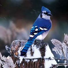 bluejay on a quiet winter's evening