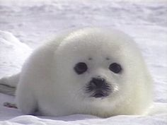 Rebecca's Seal Research Project