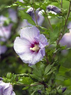 Violetter Garten-Hibiskus